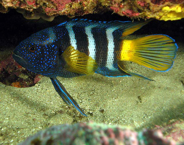 Eastern Blue Devil, Paraplesiops bleekeri