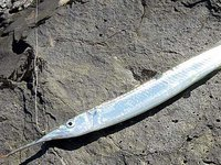 Eastern Sea Garfish , Hyporhamphus australis