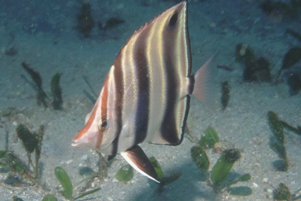 Eastern Talma, Chelmonops truncatus