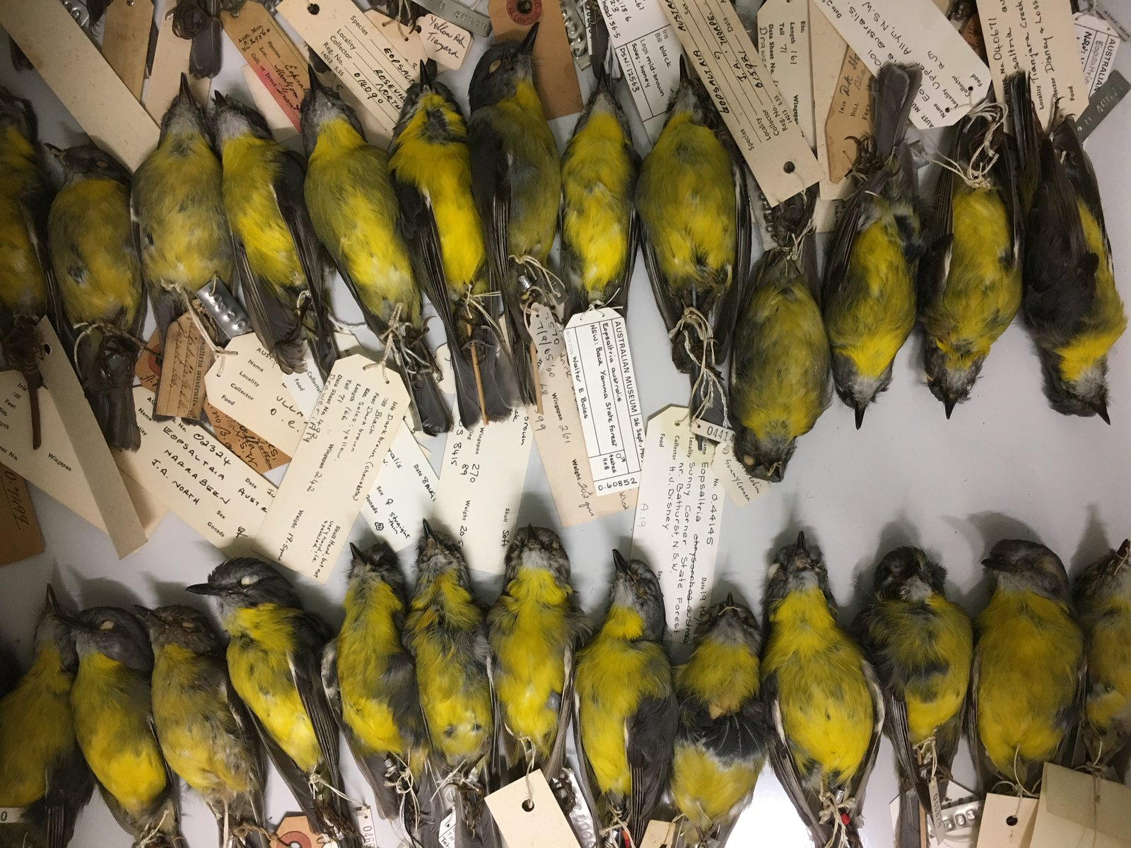 Eastern Yellow Robins from the AM collection