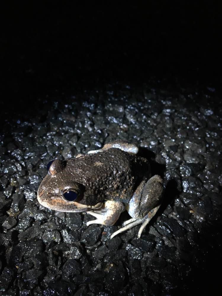 Eastern Banjo Frog (Limnodynastes dumerilii).