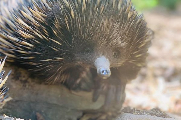 Echidnas from Featherdale Wildlife Park
