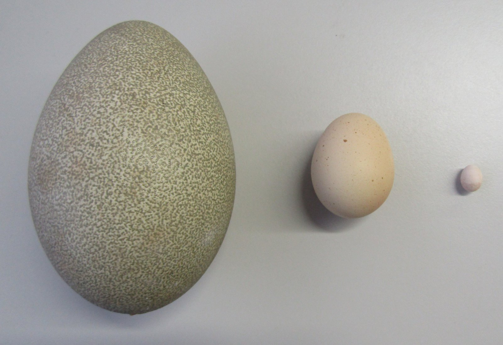 A huge range in egg size variation can be seen when comparing the Southern Cassowary egg (left), the Domestic Chicken (Gallus domesticus) (centre), and the Weebill (right).