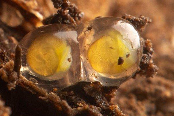 Eggs of Pseudocharopa whiteleggei.