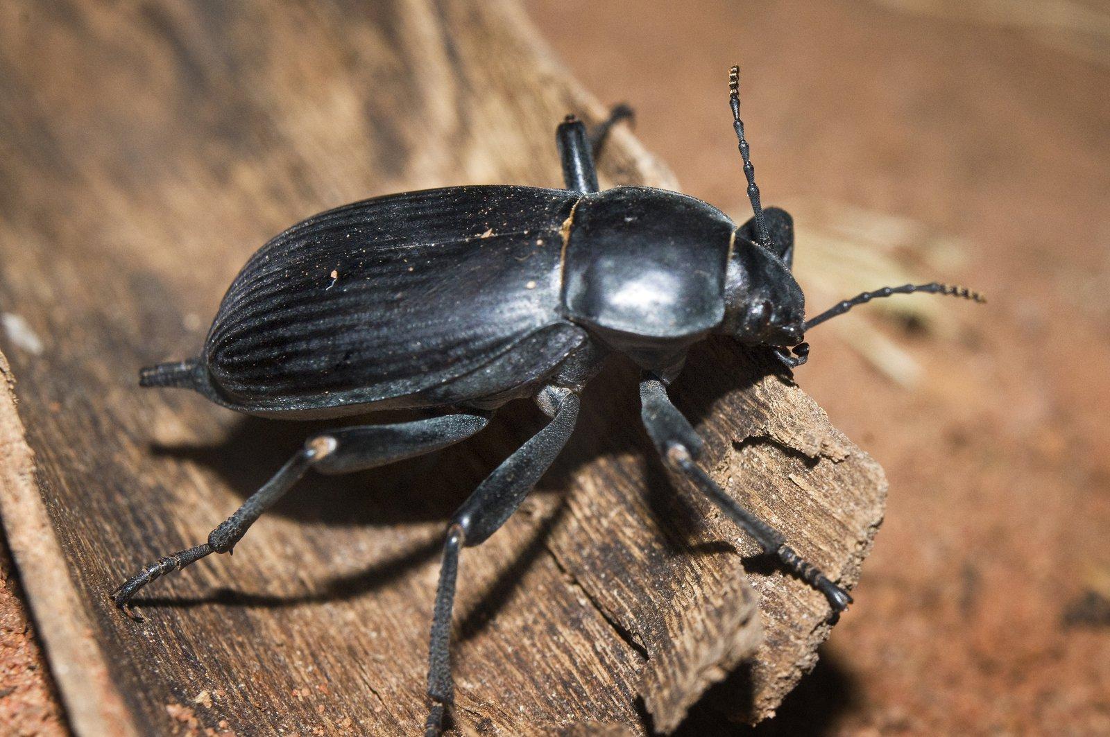 Egyptian Beetle, Blaps polychresta.