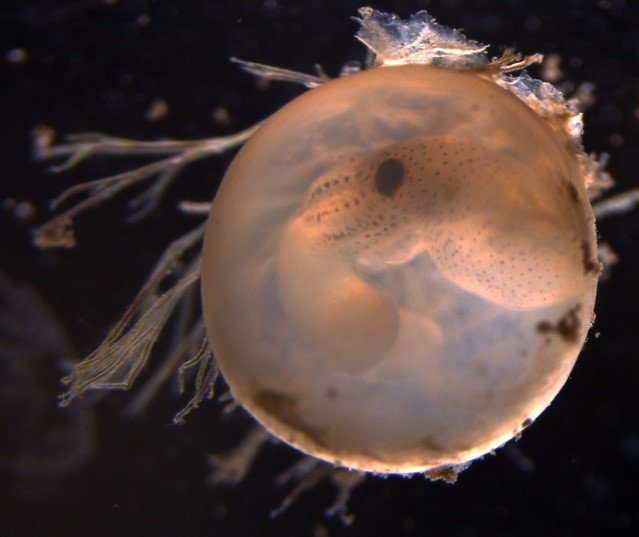 Embryo developing inside an egg. Its bulbous yolk food-sac can be seen on the left. Photo: J. Jolly (OIST)