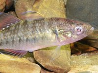 Empire Gudgeon, Hypseleotris compressa