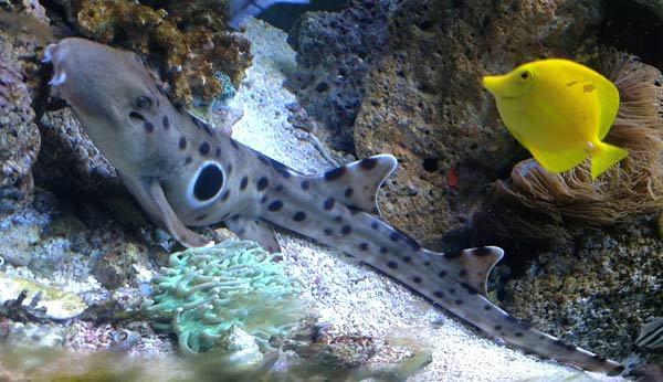 Epaulette Shark, Hemiscyllium ocellatum