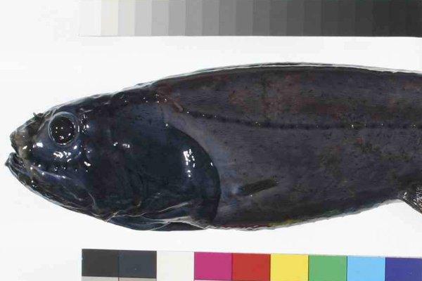 Eucla Slickhead, Rouleina eucla Whitley, 1940
