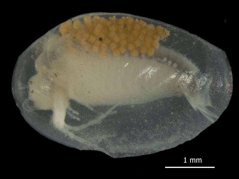 Eulimnadia australiensis