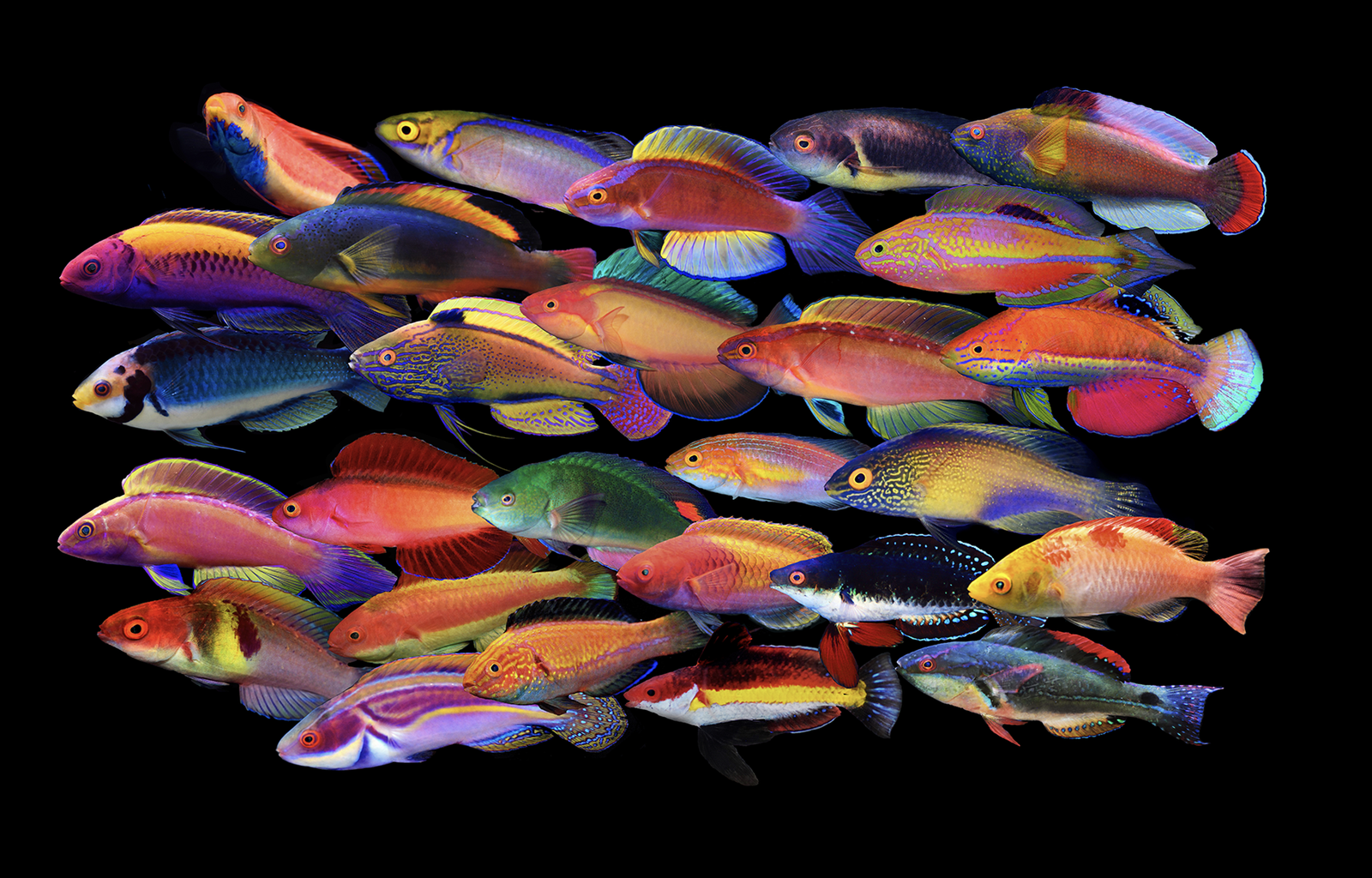 The fairy wrasses are among the most diverse of the Labridae, with their 61 species accounting for nearly 10% of the family. Photo credit: Yi-Kai Tea.