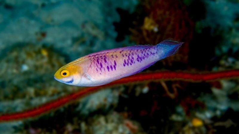 New species of fairy wrasses, like the Vibranium Fairy Wrasse (Cirrhilabrus wakanda) are continuously being discovered every year. Photo credit: Luiz Rocha.