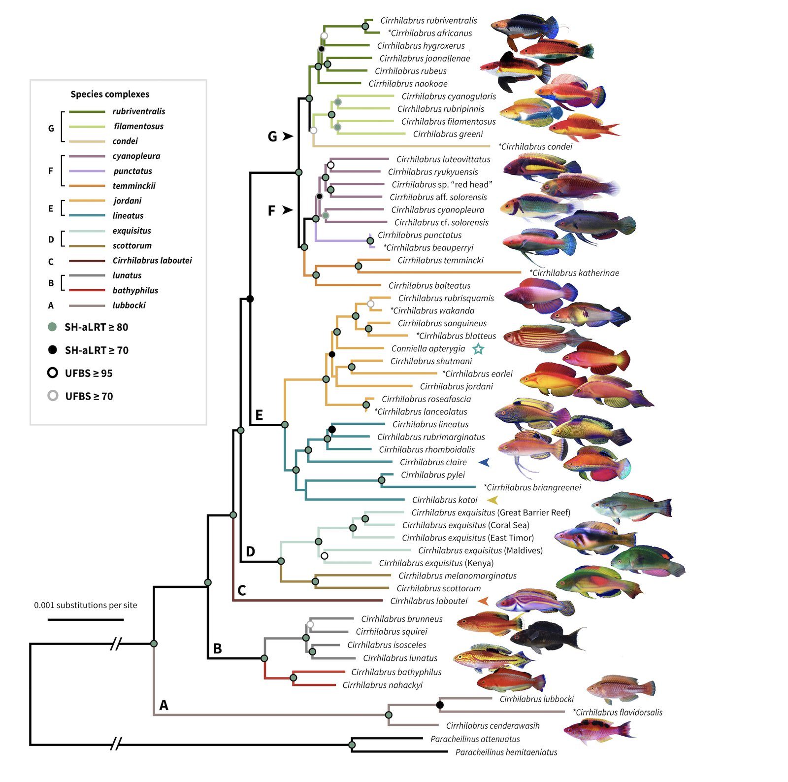 The most taxonomically complete phylogenetic tree of the fairy wrasses yet, with nearly 80% of all species represented. Photo credit: Yi-Kai Tea, Rudie Kuiter, Michael Hammer, Benjamin Victor, Gerry Allen, and the late John Randall.