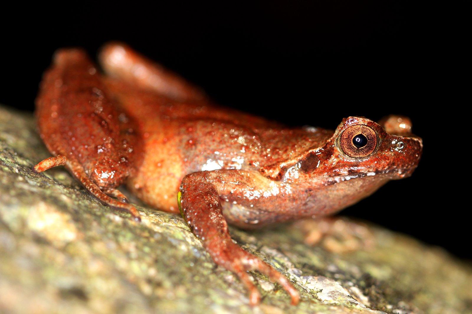 Giant horned frog