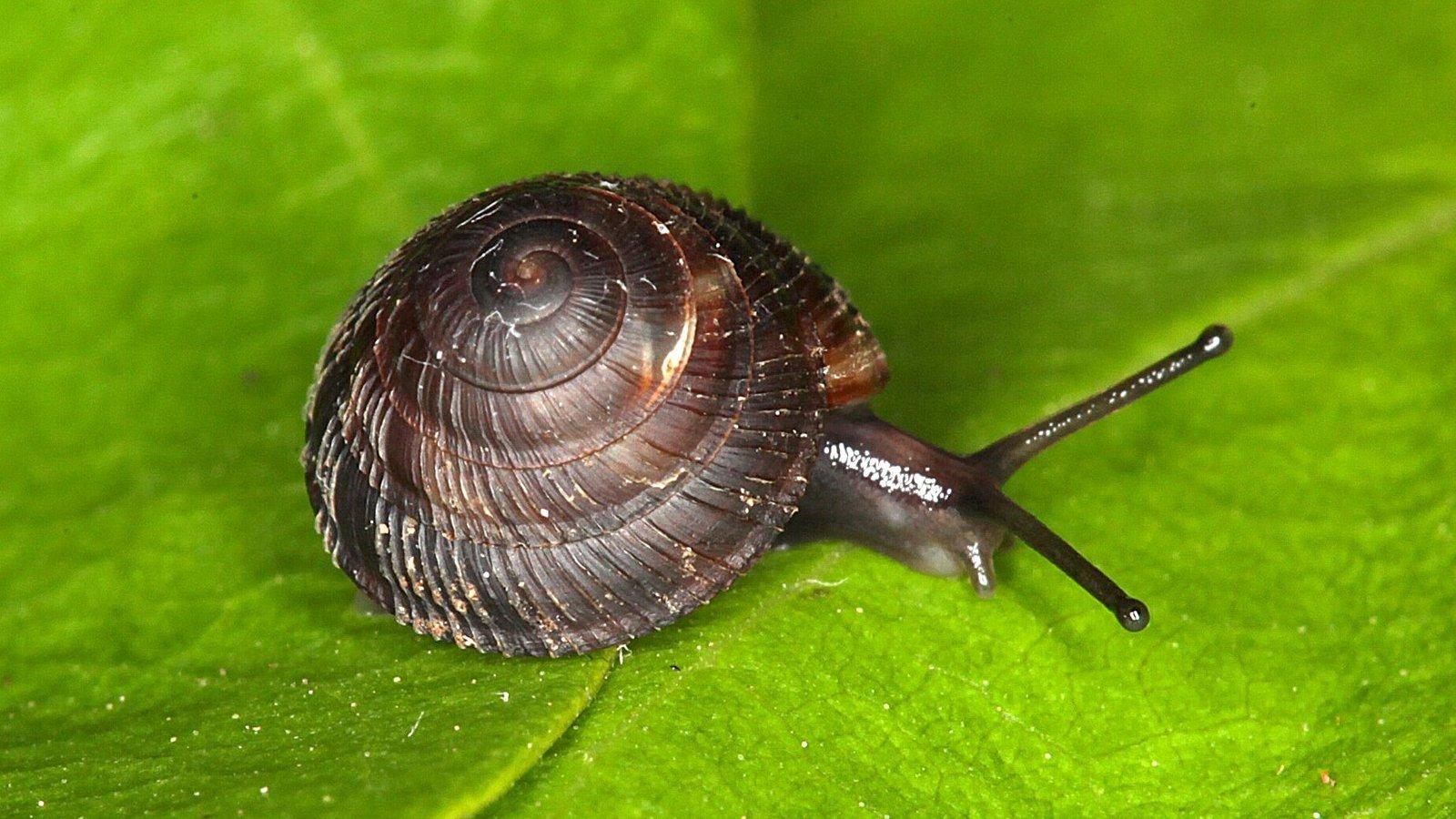 Fanulena insculpta, one of Norfolk Island's endemic snails.