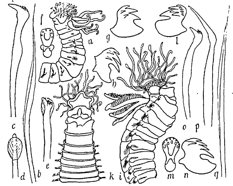 Fauvel (1927) illustrating his illustrations of Trichobranchidae from France