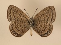 Female Niue Blue
