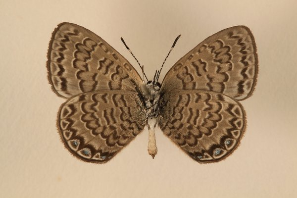 Female Niue Blue