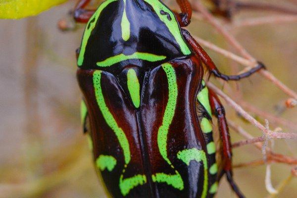 Fiddler beetle, (Eupoecila australasiae)