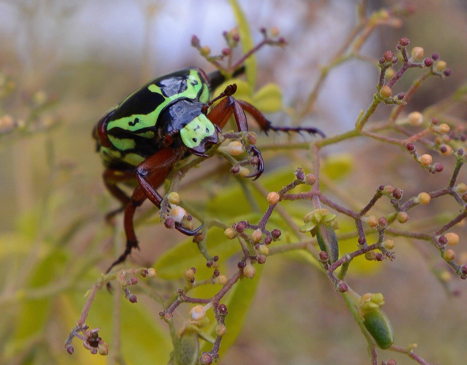 Fiddler beetle face