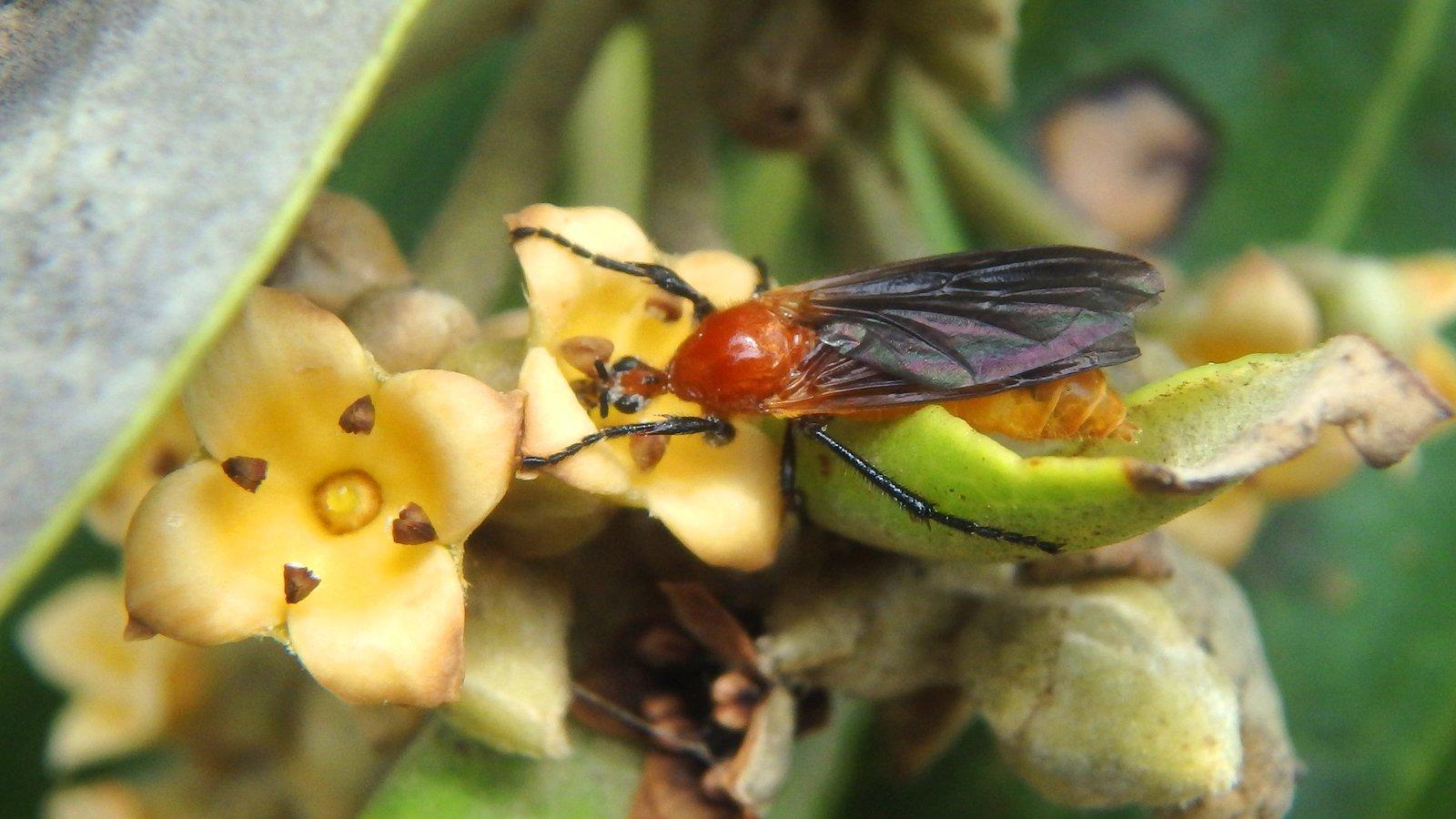 Bibio imitator (Bibionidae)