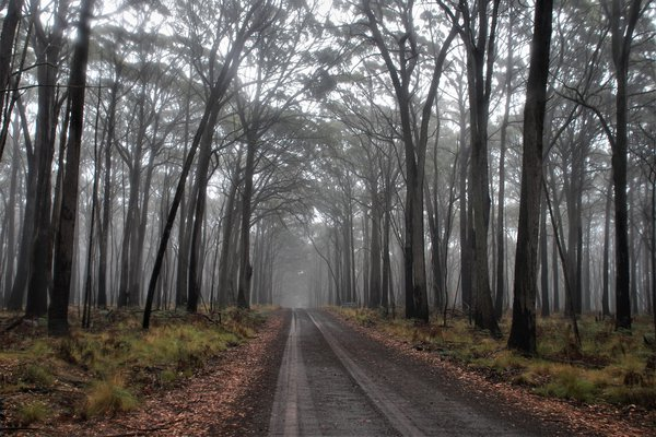A misty morning in the forest at Coolah Tops