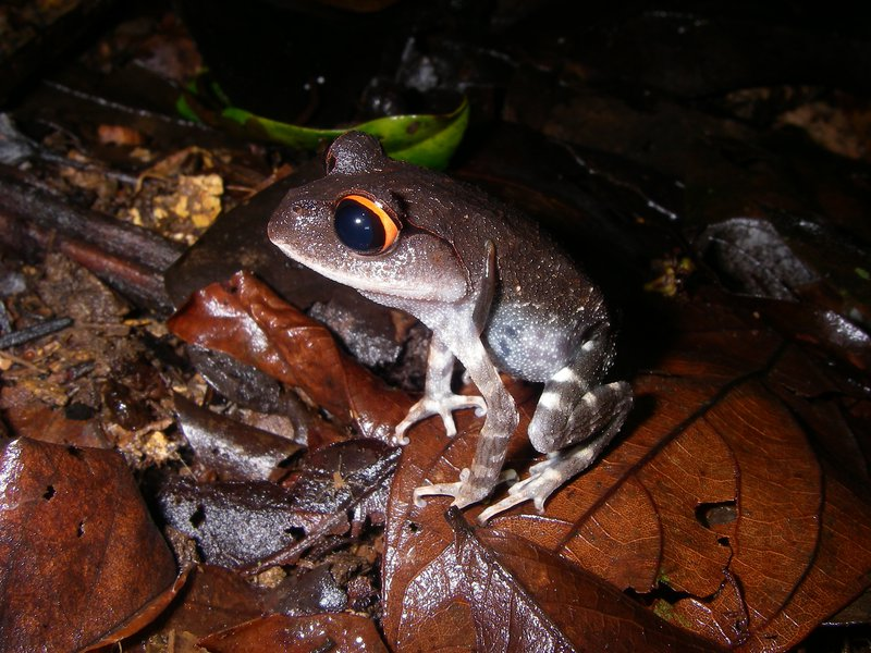 Red-eyed spadefoot toad
