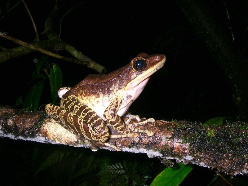 Morafka's frog