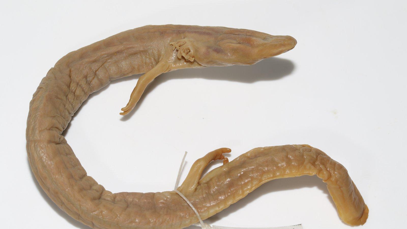 Olm (Proteus anguinus) Specimen AMS R.187533