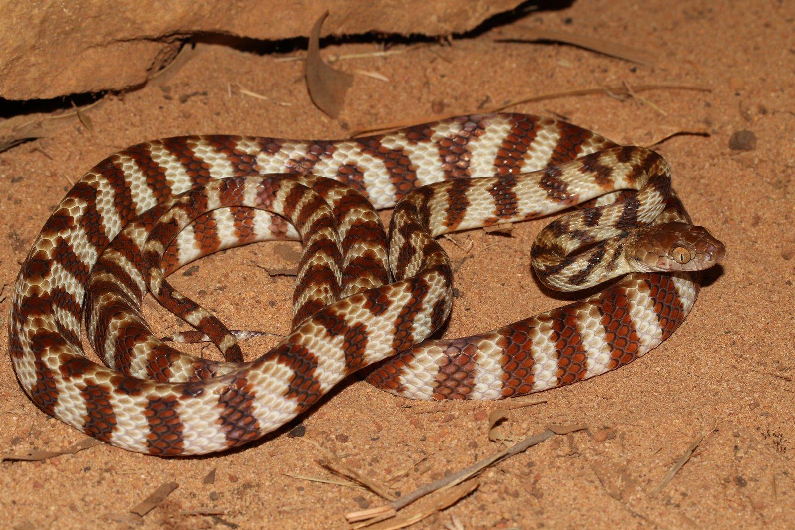Brown Tree Snake (Boiga irregularis) / Anindilyakwa Language Name - Dumamawurra.