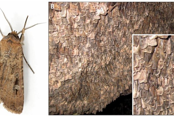 Bogong moth Agrotis infusa (photo: Ajay Narendra). (B) Thousands of moths per square metre aestivating on a rock surface (photo: Eric Warrant). (Stephenson et al. 2021, Figure 1)