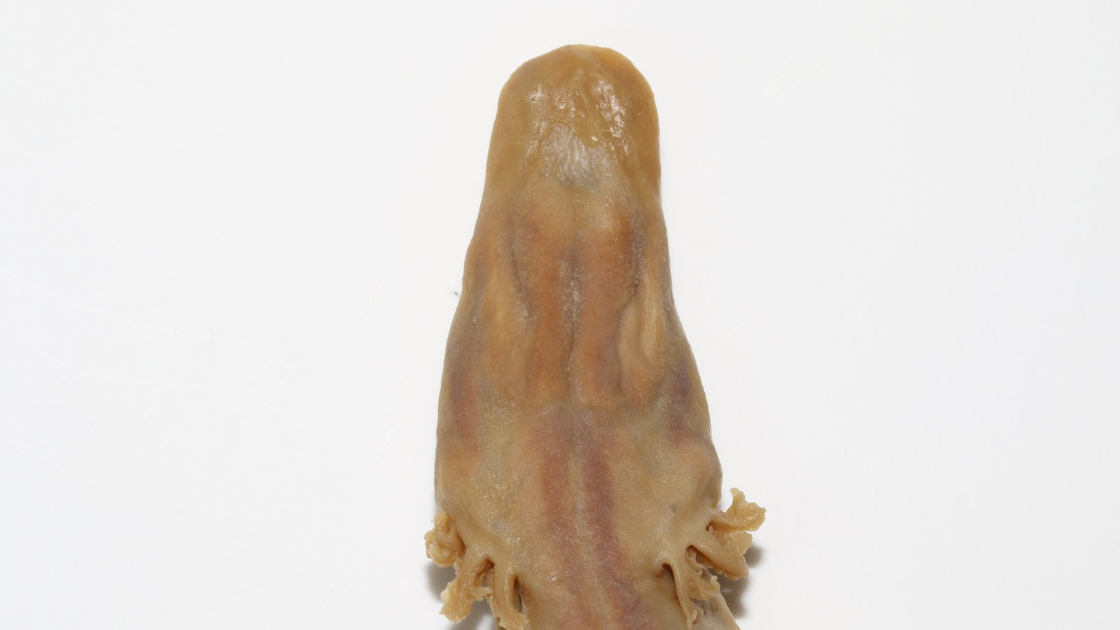 Olm (Proteus anguinus) Specimen AMS R.187533.