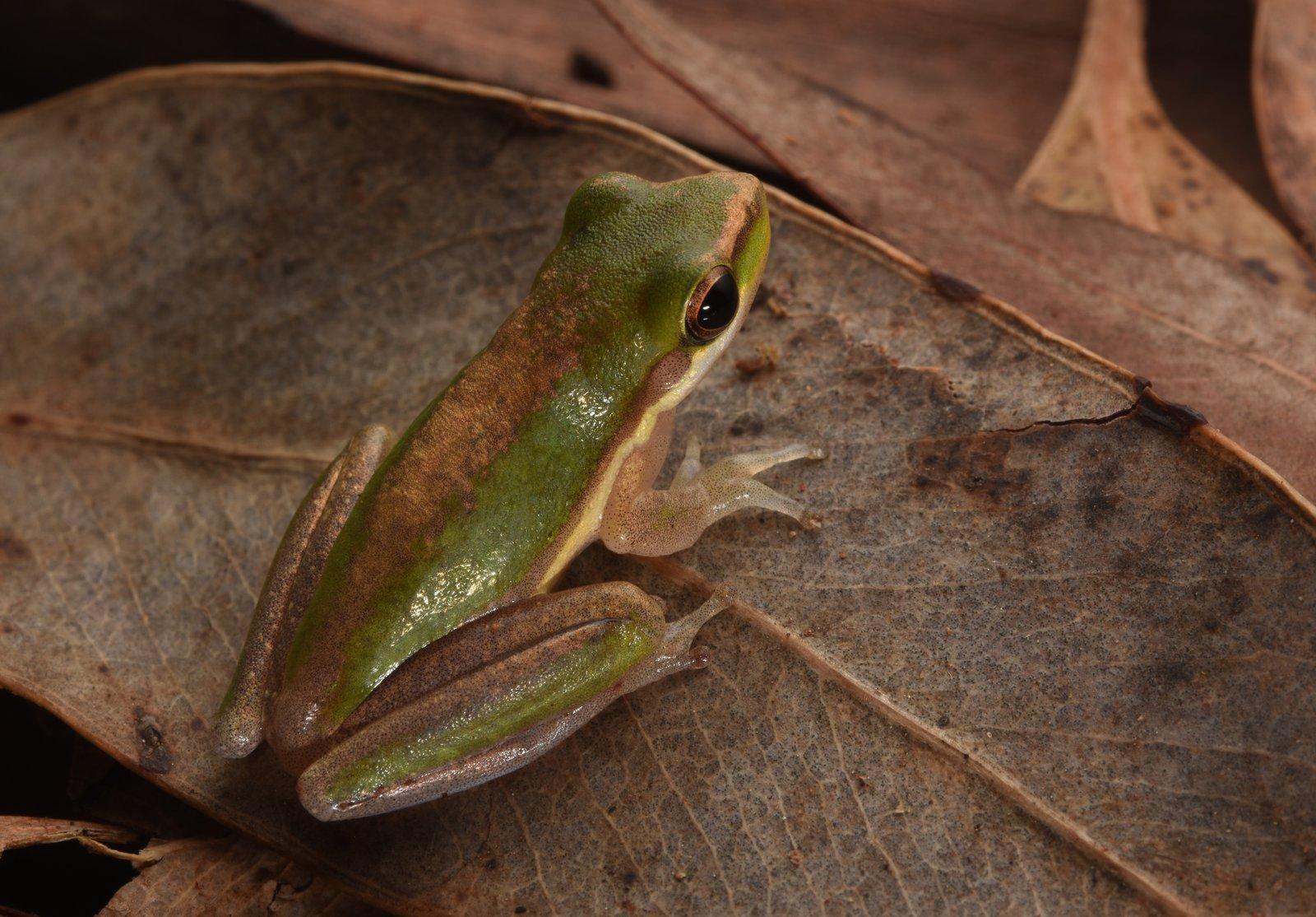 Northern Sedge Frog (Litoria bicolor) Anindilyakwa Language Name – Dilyaburnda.