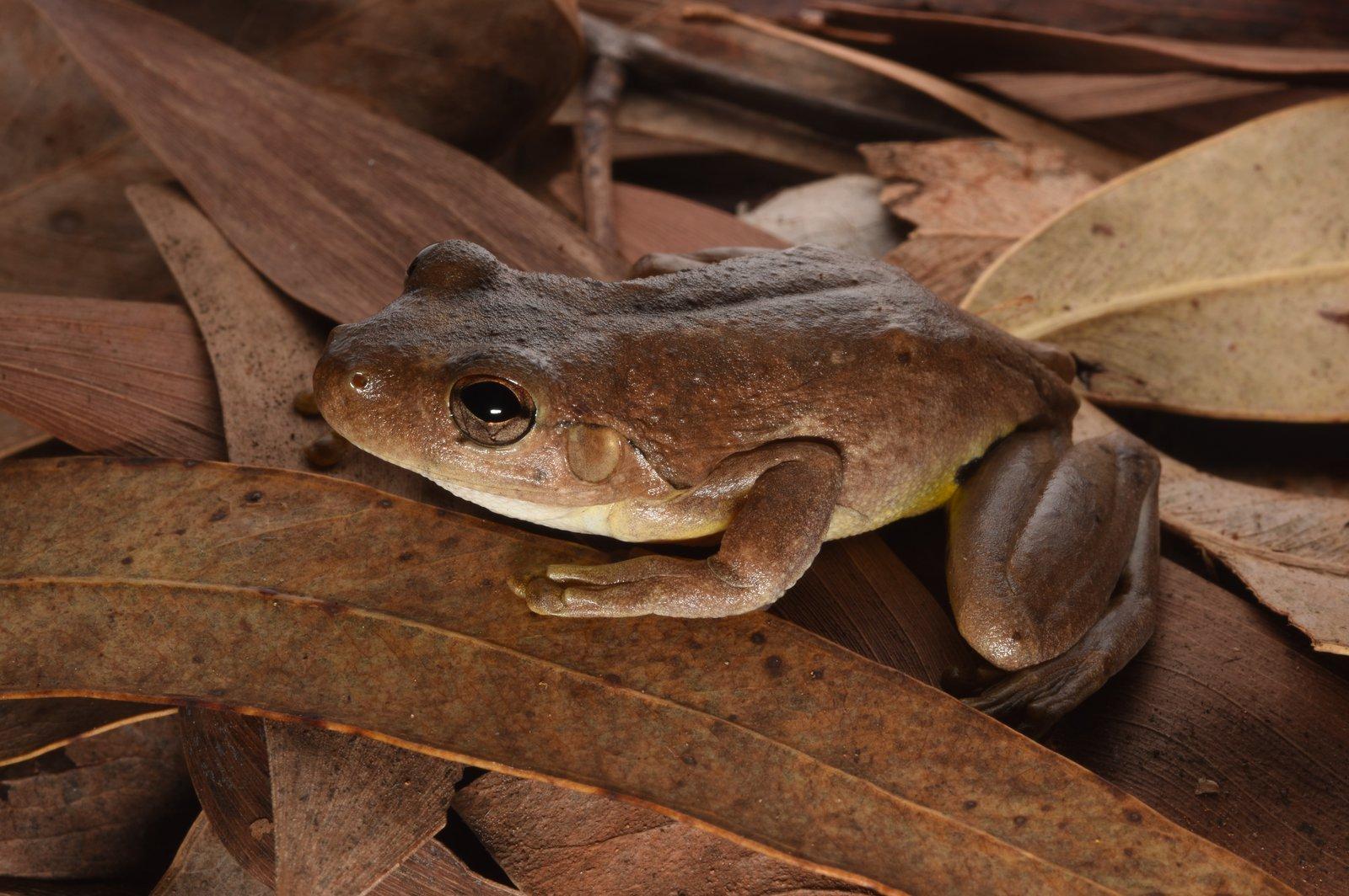 Roth's Tree Frog (Litoria rothii) Anindilyakwa Language Name – Dilyaburnda.
