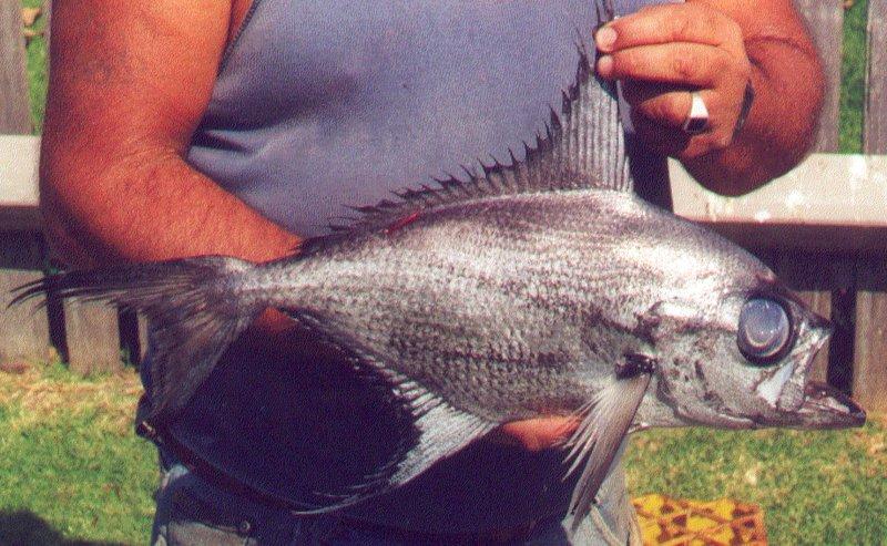 Flathead Pomfret, Taractes asper