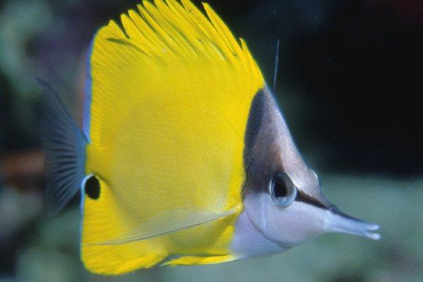 Forceps Fish, Forcipiger flavissimus