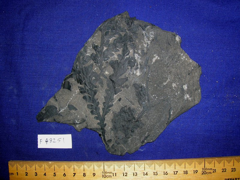 Fossil dicroidium zuberi
