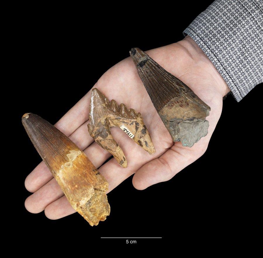 Fossilised marine teeth