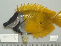 Foxface, Siganus vulpinus - I.44730-006