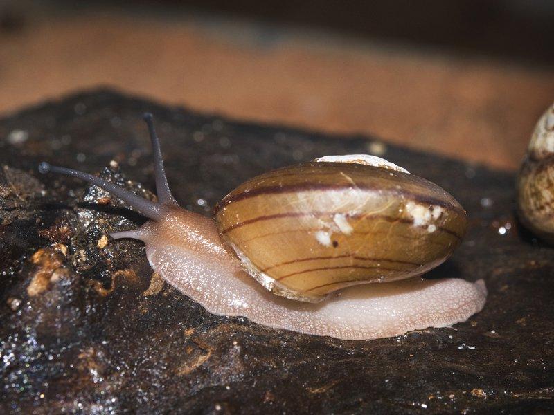 Fraser's Rainforest Snail, Sphaerospira fraseri.