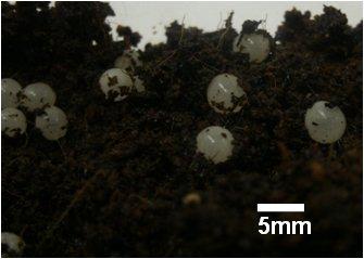 Fraser's Rainforest Snail eggs