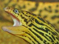 Freshwater Moray, Gymnothorax polyuranodon