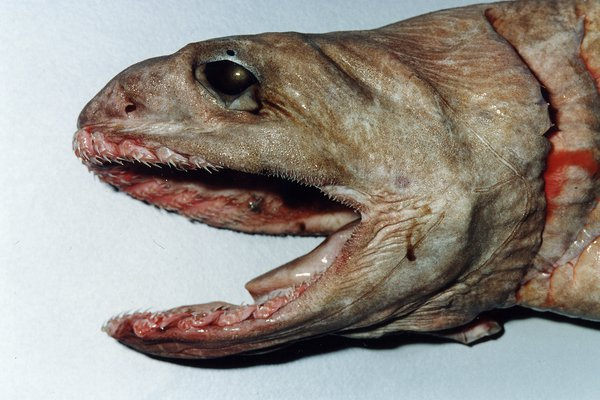 Frill Shark, Chlamydoselachus anguineus