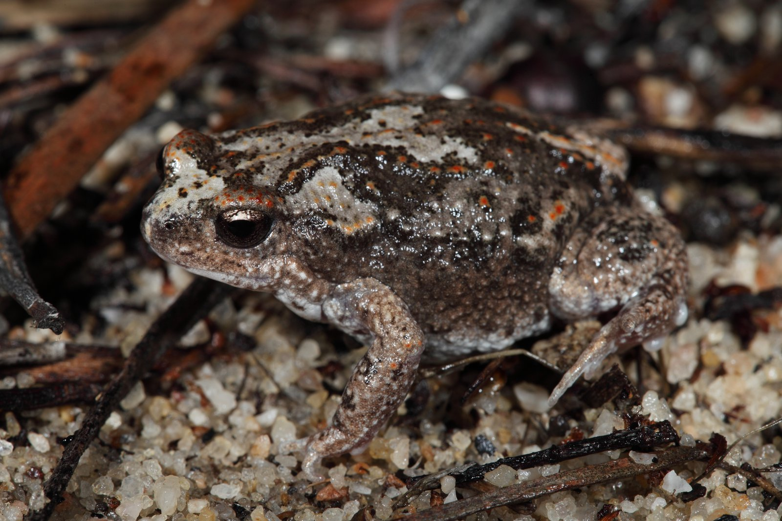 FrogID Week 2019