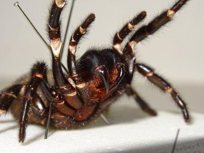 Funnel-web spider - <i>Atrax robustus </i>(female)