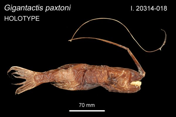 <i>Gigantactis paxtoni </i>