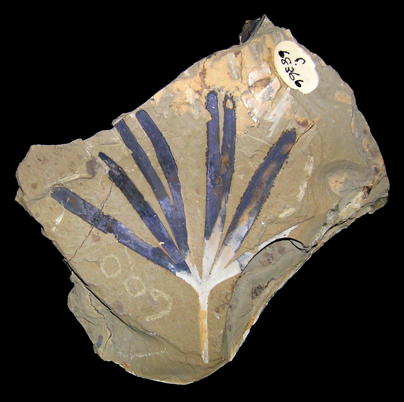 Fossil of Ginkgo tree, Ginkgoites australis