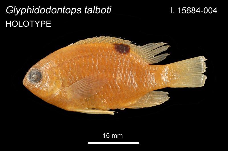 Glyphidodontops talboti I.15684-004