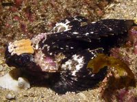 Goblinfish, Glyptauchen panduratus