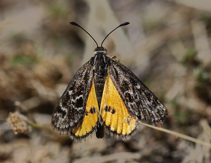 Golden Sun Moth, Synemon plana
